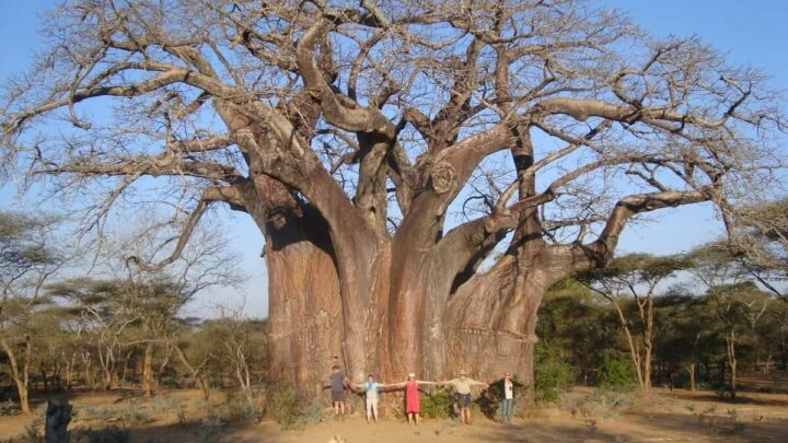 """""""The tree of life"""" 5,000 year old tree in South Africa People"""